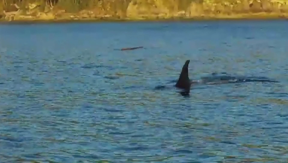 Starving orca J50 finally spotted alive; emergency action could start Wednesday