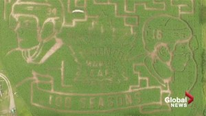 New Brunswick farm celebrates 100th season of Maple Leafs with annual corn maze