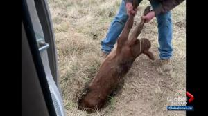 Alberta rancher pulls stuck calf out of badger hole​
