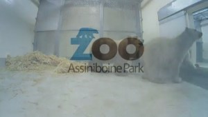 First look at the Assiniboine Park Zoo's newest polar bears
