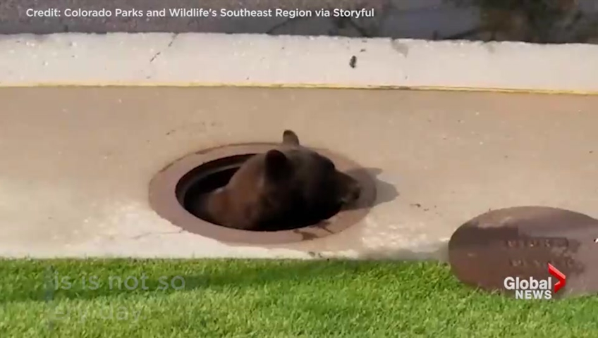 Bear caught in storm drain freed when manhole cover lifted
