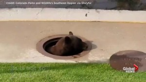 Wildlife officials in Colorado Springs rescue bear trapped in storm drain