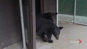 Bear cubs return after escaping through roof of wildlife shelter enclosure