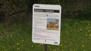 Rise in coyote sightings in Etobicoke have residents on edge