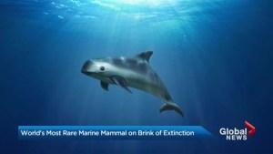 WWF warns vaquita on brink of extinction