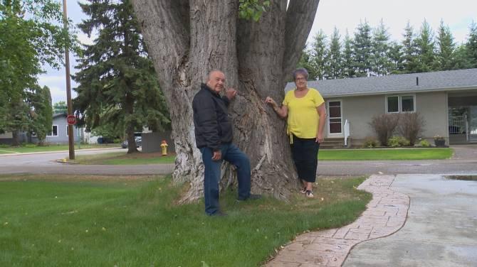 Saskatoon tree sprouts to the title of broadest tree in Saskatchewan