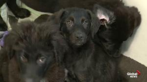 'Gilligan's Island' puppies almost ready to be adopted