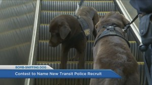 Meet TransLink's new bomb-sniffing dog