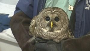 Rat poison suspected of killing owl