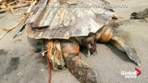 Dead turtle with stomach full of plastic found in Indonesia
