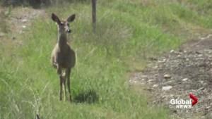 Deer stands near rising B.C. floodwater