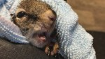 Squirrel saved by Alberta tooth fairy