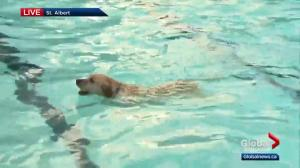 St. Albert pool offers its own version of the dog days of summer