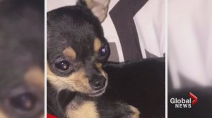 Calgary family mourns death of pet Chihuahua, claim neighbour beat dog with cell phone