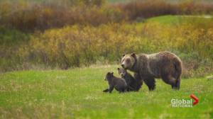 Province ends controversial grizzly bear trophy hunt