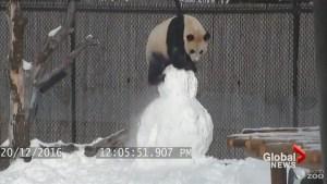 Toronto panda wrestles snowman during winter frolic