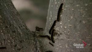 Tent caterpillars and cottony ash psyllids still affecting Saskatoon