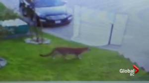Cougar terrorizes Maple Ridge neighbourhood