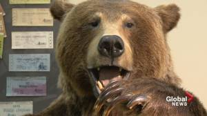 Alberta group advocates for reinstatement of grizzly bear hunting in province