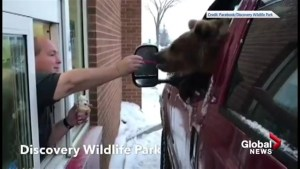 Berkley the bear seen eating ice cream from a van in a drive-thru