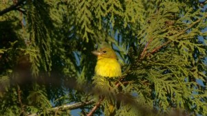 Rare sighting brings birders flocking to South Vancouver home