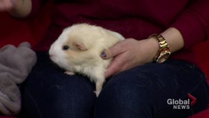 Shamrock the guinea pig needs a home