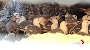 Burnaby Wildlife Rescue cleans up seagulls from sticky mess