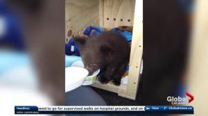 What's next for 3 stranded bear cubs