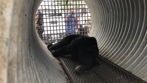 Bear captured in Ottawa after found wandering Byward Market downtown