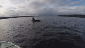 Male orca kills baby killer whale in B.C. waters to mate with mom, scientists believe