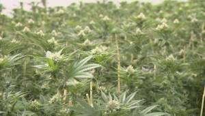 Winnipeg opens marijuana education centre, hosts cannabis convention (01:36)