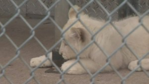 First white lions born in Canada unveiled at Toronto Zoo