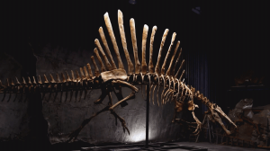 Discovering the Spinosaurus