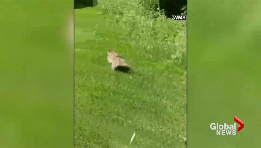 Watch: Raccoon scales side of building before making daring leap