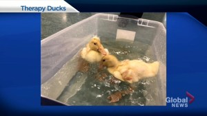 Therapy ducks at Sherbrooke Community Centre in Saskatoon