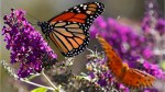Monarch butterfly count increases 144 percent
