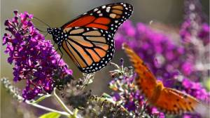 Monarch butterfly count increases 144 percent (01:17)