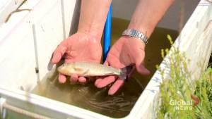 University of Regina researchers looking into invasive fish species