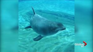 Vancouver Aquarium rescued harbour porpoise dies