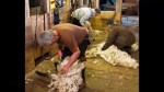 Topsy Farms on Amherst Island previews their sheep-shearing Easter weekend