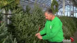 Gardening Tips: Christmas tree tips