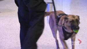 Dante, retired Winnipeg Police dog, serving at Bell MTS Place