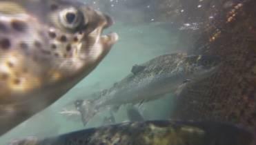Department of Fisheries to begin testing farmed B C  salmon