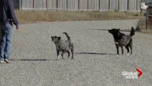 New dog bylaws on Siksika Nation aim to reduce dog attacks, increase education