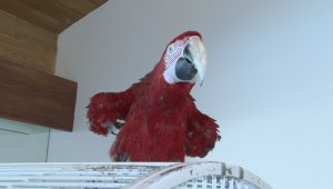 Vancouver Island exotic birds need homes