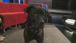 Adopt a Pet: Webster the one-year old male Labrador Retriever