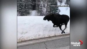 Moose caught on camera sprinting up a highway in Utah while police try to keep up