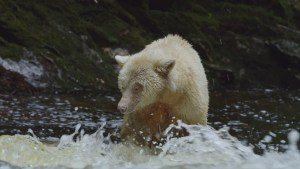 "IMAX ""Great Bear Rainforest"""