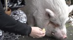 Adopted SPCA pet pig ends up on dinner plate