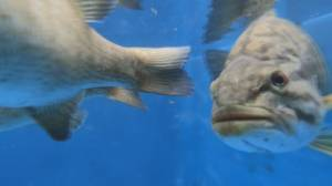 B.C. biologist fights invasive fish in Cultus Lake (01:54)